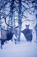 Various Elk in Snowstorm @ Big Game Alaska SC Alaska captive winter