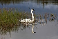 Trumpeter Swan is reflected in a pond in Denali National Park during Autumn in Interior Alaska