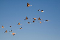 Sandhill Cranes and Snow Geese in flight, Southeast Alaska, Summer