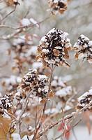Oak-leaved hydrangea Hydrangea quercifolia