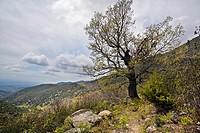 Oak, Garganta de Tejea, Sierra de Gredos, Avila province, Castilla-Leon, Spain