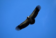 South Africa, vulture in Kruger NP