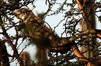 Curacao, Iguana in a thorny tree
