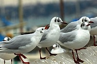 Common Black-headed Gull, Larus ridibundus in winter plumage