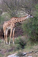 A Masai giraffe feeds on some trees in the Masai Mara