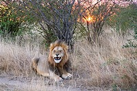 A male lion during sunset in the Masai Mara in Kenya