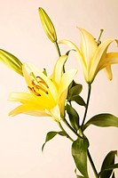 Yellow lilies, pink background