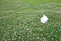 White Clover field and miniature house, Gunma Prefecture, Honshu, Japan