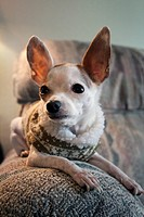 A Chihuahua sitting on a couch indoors