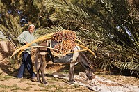 Morocco - The dates in the palmeries of Rissani in the Tafilalt usually are harvested from the date palm Phoenix dactylifera in October and then are c...