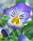 Pansy ´Blue Seal´ close_up