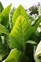 Tobacco plants close_up
