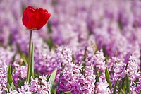 Red Tulip in Pink Hyacinths field