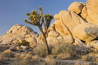 Joshua tree Yucca brevifolia and granite boulders, Joshua Tree National Park California