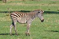 Common Zebra Equus quagga, Masai Mara National Reserve, Kenya.