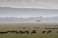 Wildebeest Connochaetes taurinus following the rain during annual migration, Masai Mara National Reserve, Kenya.