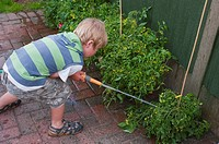 5 year old boy watering his tomatos in a Uk garden