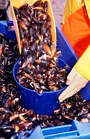 Sorting and grading the cleaned mussels