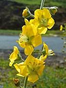 Dyckia Flowers, Mahabaleshwar, Satara, Maharashtra, India