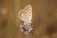 Common Blue Polyommatus icarus Butterfly shot in Israel, Summer August