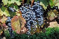 Cabernet grapes for wine fine