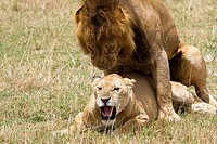 A lion &amp; lioness mating on the plains of the Masai Mara