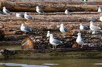 Canada, BC, Richmond  Seagulls on log boom on the lower Fraser River