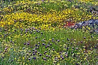 Wildflowers, spring, Table Mountain, California