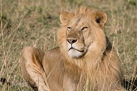 A male lion sits on the plains of the Masai Mara in Kenya