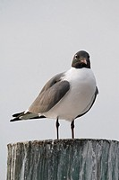 A laughing gull sits on a dock in the Florida Bay in Key Largo, USA