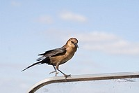 A Boat-tailed Grackle lands on our airboat in the Everglades National Park, Florida, USA