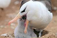 Black-browed Albatross (Thalassarche melanophrys). Steeple Jason, Falkland Islands