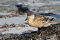 Patagonian Crested Duck (Lophonetta specularioides specularioides). Sealion Island, Falkland Islands