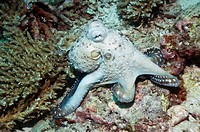 Day octopus Octopus cyanea hunting over corals  Andaman Sea, Thailand