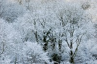 Mature Ash, Fraxinus excelsior, woodland in snow, Wales