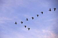 MIGRATION OF WILD GEESE, FLIGHT OF MIGRATING GEESE