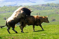 Bulls and Cows Mating Pictures http://www.agefotostock.com/en/Stock-Images/Rights-Managed/GPT-AGBC2016