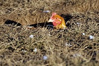 HEN IN A HOLE AT THE FARM, NORMANDY, FRANCE
