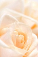 Floral background of two delicate high key beige roses macro