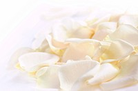 Abstract background of fresh white rose petals