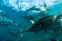 Yellowfin Tuna in ocean farm Baja California  Rancheros Del Mar, La Paz, Mexico