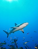 Caribbean Reef Shark, Carcharhinus perezi, West End, Caribbean Sea, Bahamas