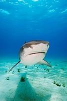 Tiger Shark, Galeocerdo cuvier, Atlantic Ocean, Bahamas
