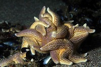 Starfishes feeds Mussels, Asterias rubens, Valentia Island, Atlantic, Ireland