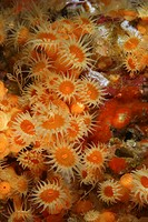 Strawberry Anemones, Corynactis californica, Santa Catalina Island, Channel Islands, Pacific, California, USA