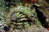 Green Ormer, Haliotis tuberculata, Adriatic sea Mediterranean sea, Croatia