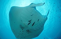 Manta ray, Manta birostris, Indian Ocean, Maldives