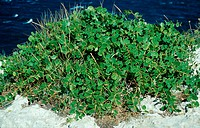 capers, Capparis spinosa, Tremiti Islands Italy, Italy