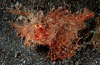 Ambon scorpionfish, Pteroidichthys amboinensis, Lembeh Strait Sulawesi Indonesia Indian Ocean, Indonesia