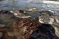 Green sea turtles in turtle farm, Chelonia mydas, Caribbean Sea Grand Cayman, Cayman Islands